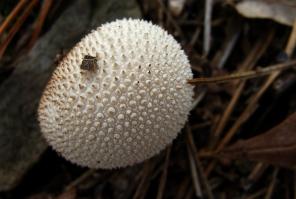 Mushroom like a pufferfish.