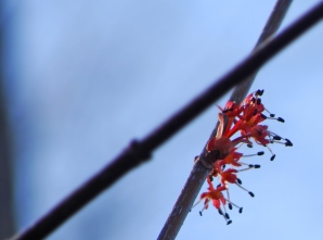 Maples are among the first trees to be in bloom in the late winter here in central Arkansas.