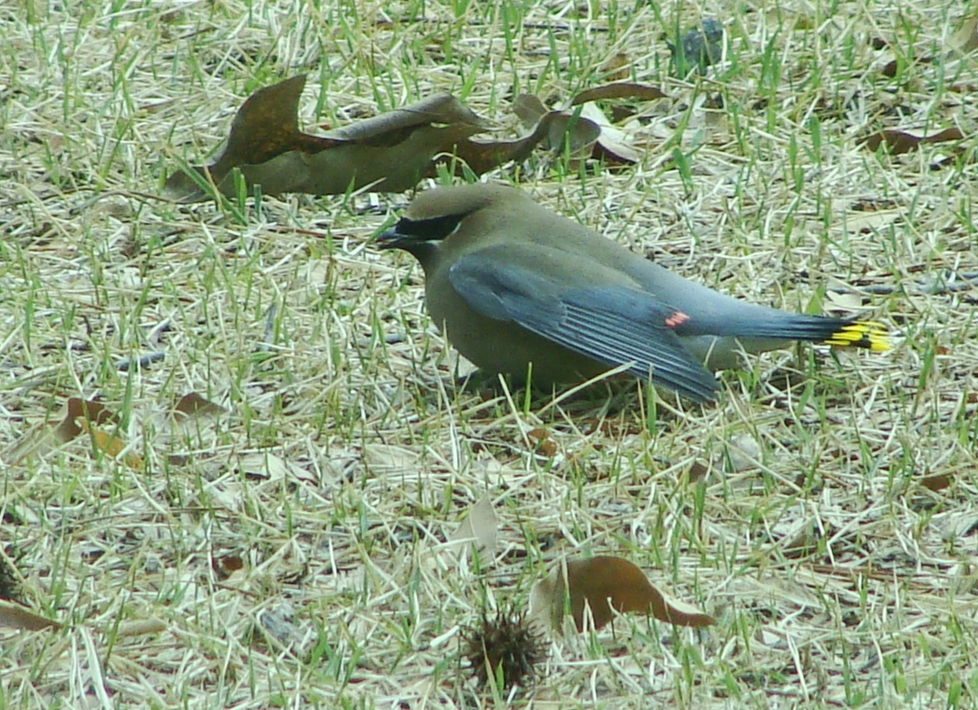 DOWN -- Injured waxwing seeks rest in the grass.