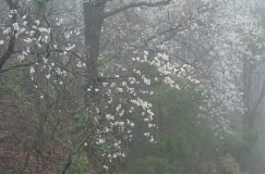 Blossoms cascade in the mist.