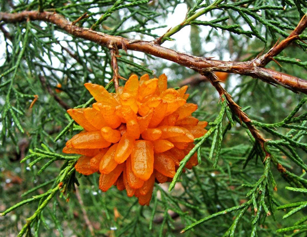 "Cedar apple rust in ""full bloom,"" with hydrated spore horns."