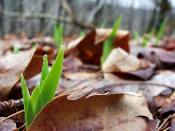 Crested iris leaves push through the forest's leaf litter.