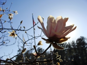 Tulip tree -- a cheery herald of spring.