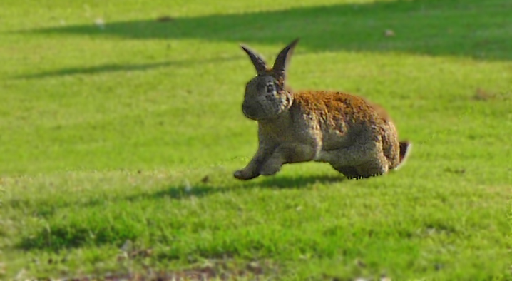 GALLOOMPHING - This large rabbit didn't so much hop as galloomphed his way around the grounds of a local nursing home. He and a friend have free run of the place to the amusement of patients and their families.