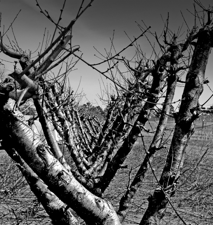 WAITING -- Peach orchard in March 13, 2013, a week before bud break.