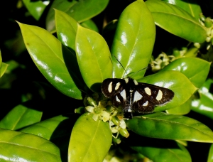 Black moth with yellow and light blue triangular spots on holly.