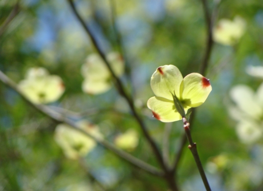 Just opened dogwoods face the sun.
