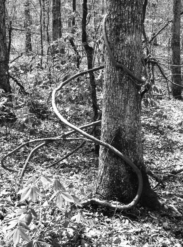 Vine pulls itself closer to its tree.