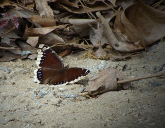 Mourning cloak butterfly lands on the concrete roadway.
