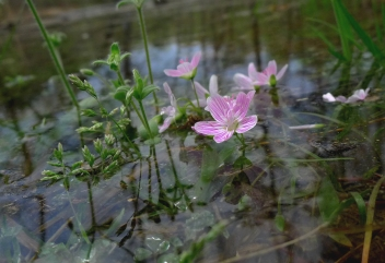 Spring beauties bloom despite danger of drowning.