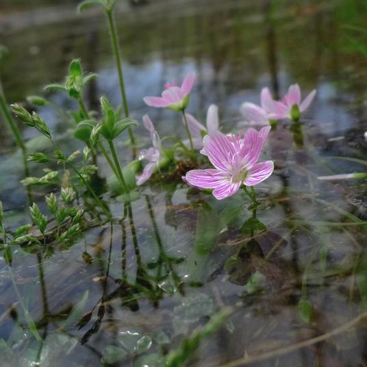 Spring beauties bloom despite danger of drowning.