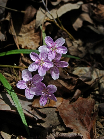 Clusters of spring beauty spring up amid the deadfall and leaf litter.
