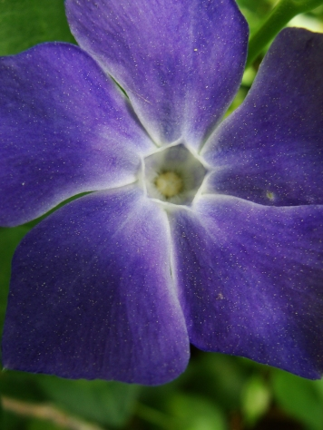 Pollen-spangled periwinkle