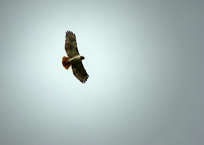 SOARING SPIRIT -- The campus hawk spirals above the parking lot and green spaces on a beautiful, overcast spring day.