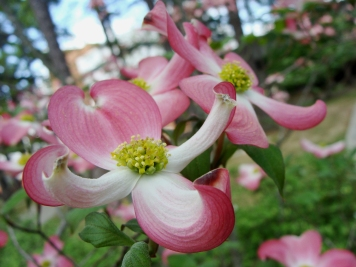 Pink dogwood blooms reach out to embrace spring.