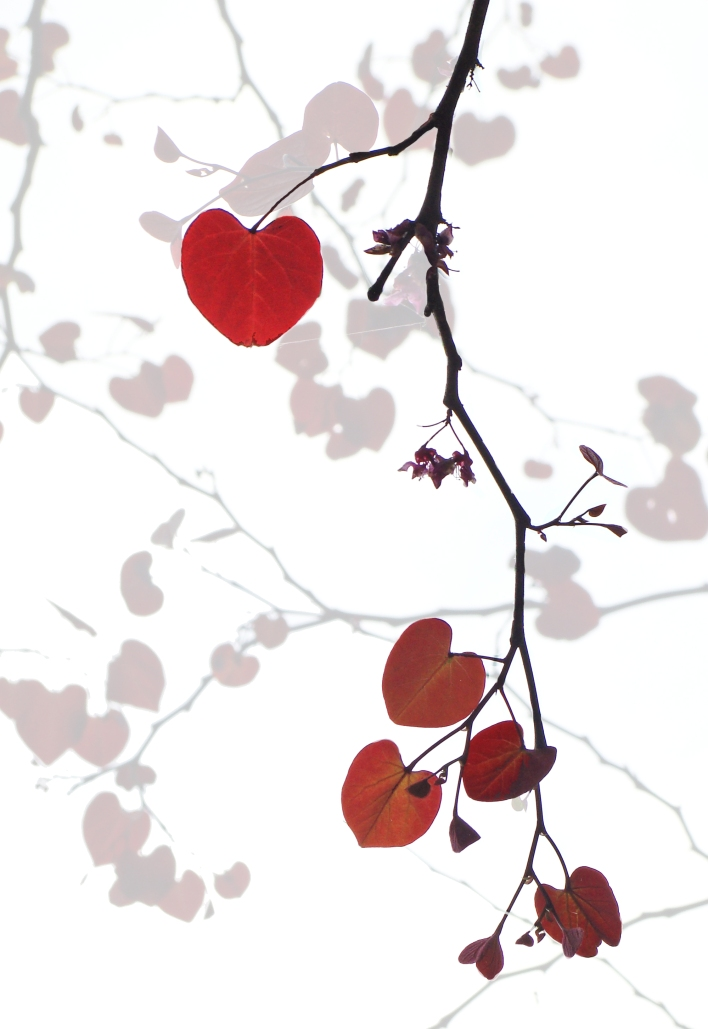 Red bud leaves, like sky-borne hearts. (yes, Photoshop confession is appropriate) Just like the abstract nature of nature.
