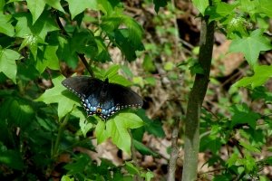 Black swallowtail butterfly with iridescent blue markings.