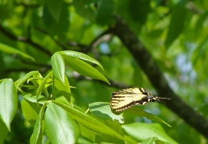 Yellow and black butterfly lays flat in tree.