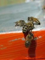 Apiculture, or beekeeping, is a fast-growing part of agriculture.
