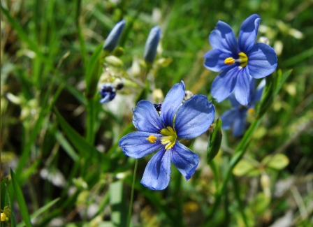 Blue eyed grass flowers