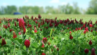 Deep crimson clover flower heads