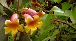 Yellow-orange cross vine flowers