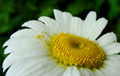 Yellow crab spider on daisy.