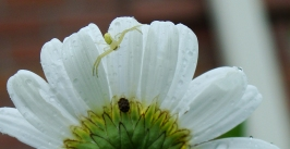Flower crab spider seeks other prey on the back of the daisy.