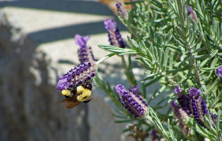 Carpenter bee hangs on when lavender plant bends under he weight.