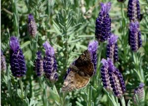 Dusky moth in lavender blooms.