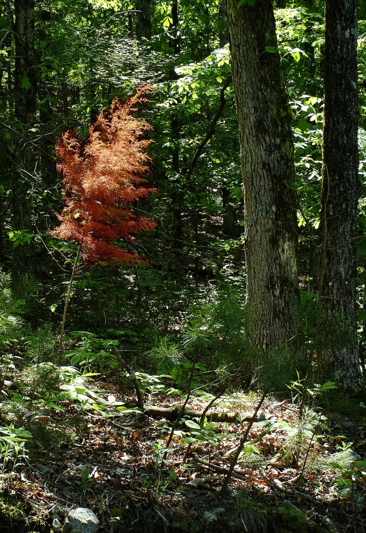 A red-headed cedar tree stands out against the greening forest. Sadly, its rusty head probably means it is a former cedar tree.