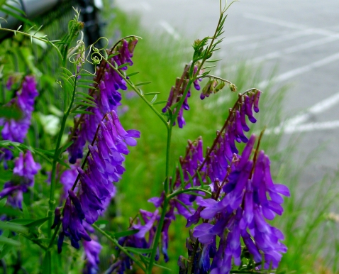 Purple vetch beautifies the parking lot.