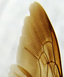 Pattern of tiny dots in the wing of a carpenter bee.