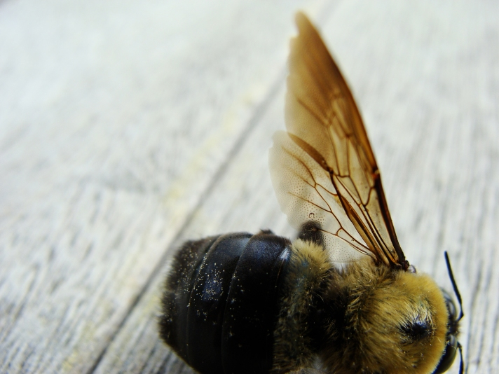 Carpenter bee.