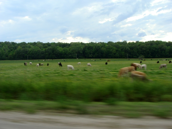 Motion blurred cattle.