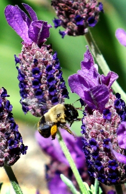 Bee, either bumble or mason, visits the lavender, carrying his bright yellow pollen pellet.