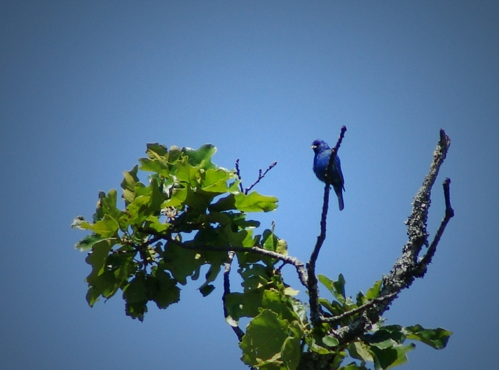 Indigo bunting on a cloudless day.