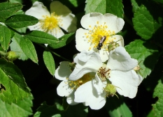 Blooming hawthorn.