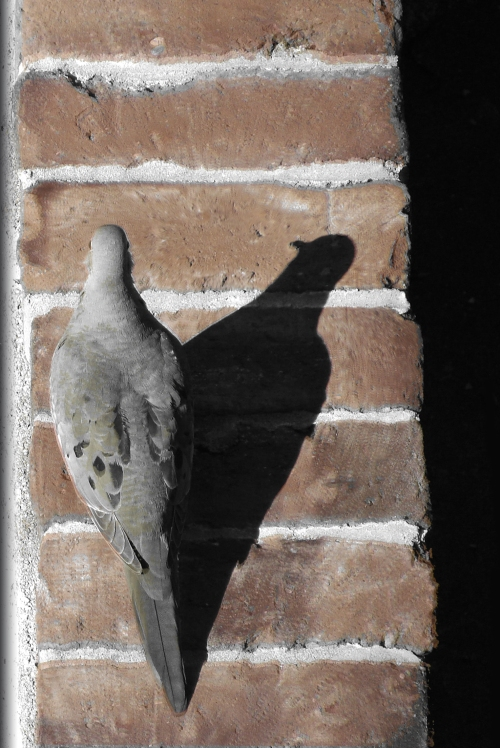 Mourning dove on a brick wall.