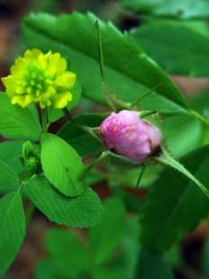 Hop clover and primrose bud.