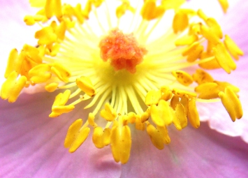 Tight shot of the center of an evening primrose bloom.