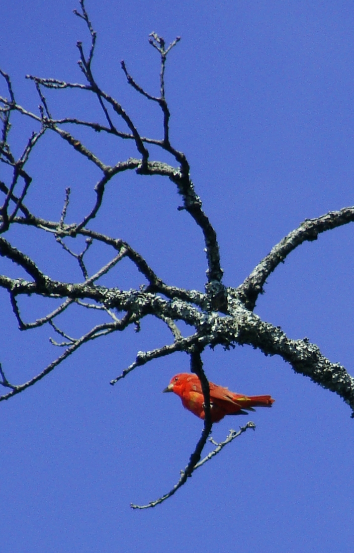Red tanager against cloudless blue sky.