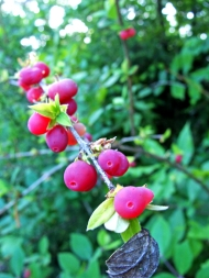 Pinkish-red berries clustered on a branch against green leaves.