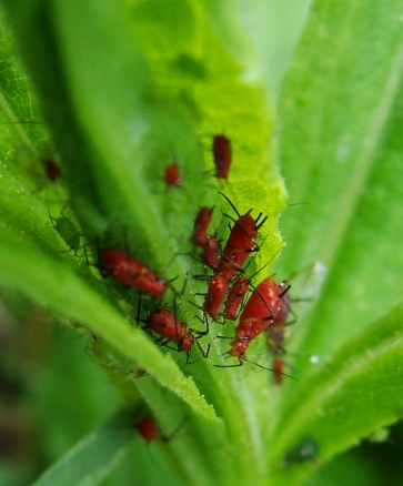 Tiny red bugs with black legs in bright green leaves.