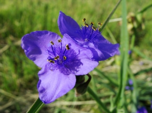 Deep purple spiderwort blooming on the roadside.