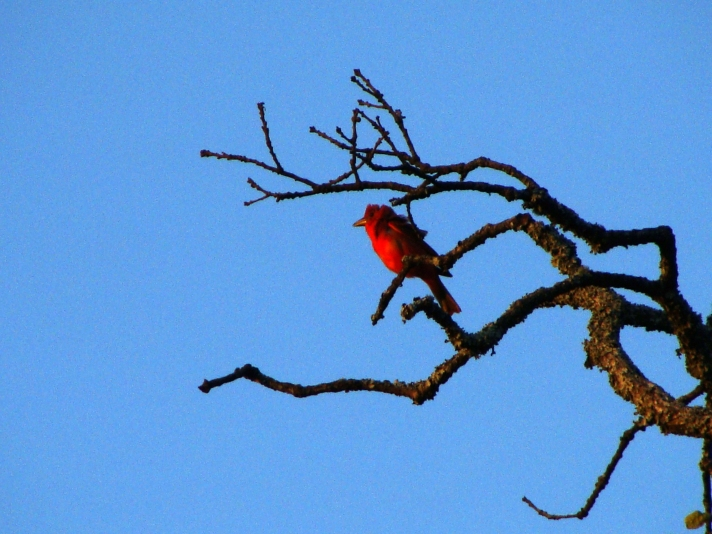 Scarlet tanager against blue sky.