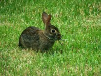 One of our resident hares browsing in the backyard.
