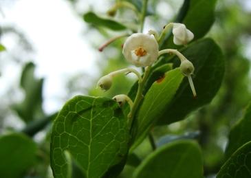Unknown flowering woodland shrub.