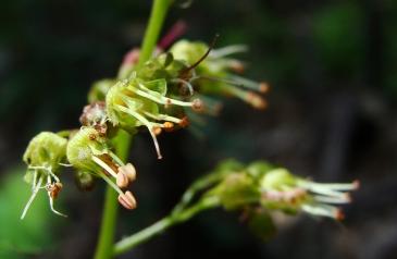 Unidentified green wildflower.