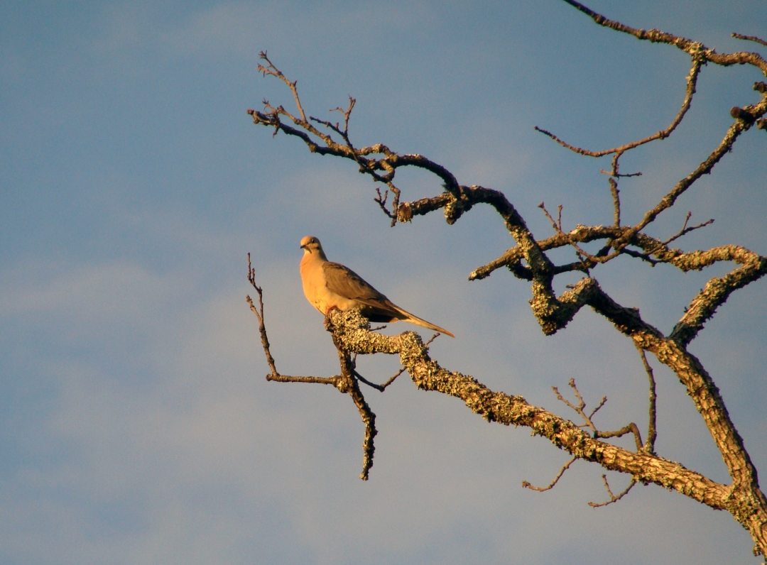 Mourning dove against mostly blue sky.